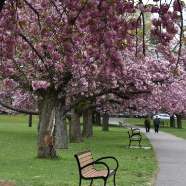 Purple trees in the park